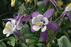 McKana Purple Columbine (Aquilegia 'McKana Purple') at Jim Melka Landscaping & Garden Center
