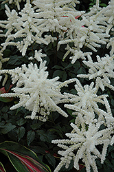 Washington Astilbe (Astilbe japonica 'Washington') at Jim Melka Landscaping & Garden Center