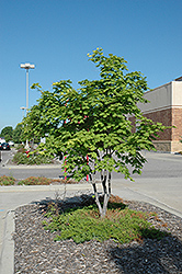 Korean Maple (Acer pseudosieboldianum) at Jim Melka Landscaping & Garden Center