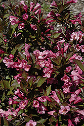 Samba Weigela (Weigela florida 'Samba') at Jim Melka Landscaping & Garden Center