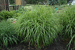 Porcupine Grass (Miscanthus sinensis 'Strictus') at Jim Melka Landscaping & Garden Center