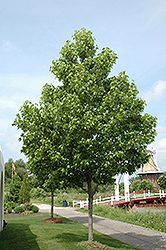 Moraine Sweet Gum (Liquidambar styraciflua 'Moraine') at Jim Melka Landscaping & Garden Center