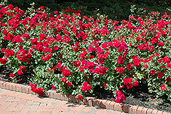 Champlain Rose (Rosa 'Champlain') at Jim Melka Landscaping & Garden Center