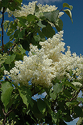 Ivory Silk Tree Lilac (tree form) (Syringa reticulata 'Ivory Silk (tree form)') at Jim Melka Landscaping & Garden Center
