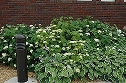 White Dome Hydrangea (Hydrangea arborescens 'White Dome') at Jim Melka Landscaping & Garden Center