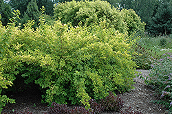 Lemon Candy Ninebark (Physocarpus opulifolius 'Podaras 3') at Jim Melka Landscaping & Garden Center