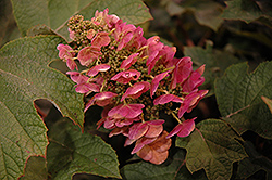 Ruby Slippers Hydrangea (Hydrangea quercifolia 'Ruby Slippers') at Jim Melka Landscaping & Garden Center