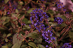 Lo And Behold® Blue Chip Junior Dwarf Butterfly Bush (Buddleia 'Lo And Behold Blue Chip Junior') at Jim Melka Landscaping & Garden Center
