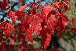 Amur Maple (Acer ginnala) at Jim Melka Landscaping & Garden Center