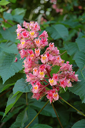 Briotti Red Horse Chestnut (Aesculus x carnea 'Briotti') at Jim Melka Landscaping & Garden Center