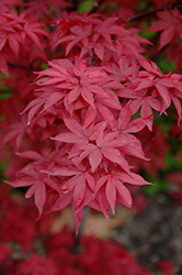 Twombly's Red Sentinel Japanese Maple (Acer palmatum 'Twombly's Red Sentinel') at Jim Melka Landscaping & Garden Center