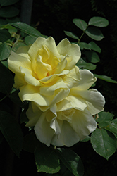 Carefree Sunshine Rose (Rosa 'Carefree Sunshine') at Jim Melka Landscaping & Garden Center