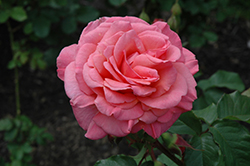 Kiss Me Rose (Rosa 'Kiss Me') at Jim Melka Landscaping & Garden Center