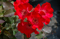 Screaming Neon Red™ Rose (Rosa 'BAIneon') at Jim Melka Landscaping & Garden Center