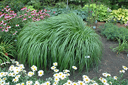 Red Head Fountain Grass (Pennisetum alopecuroides 'Red Head') at Jim Melka Landscaping & Garden Center