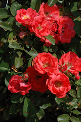 Coral Drift® Rose (Rosa 'Meidrifora') at Jim Melka Landscaping & Garden Center