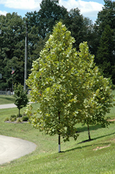 Exclamation! London Planetree (Platanus x acerifolia 'Morton Circle') at Jim Melka Landscaping & Garden Center