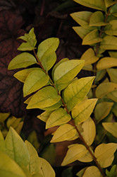 Golden Ticket® Privet (Ligustrum x vicaryi 'NCLX1') at Jim Melka Landscaping & Garden Center