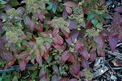 Double Play® Artisan® Spirea (Spiraea japonica 'Galen') at Jim Melka Landscaping & Garden Center