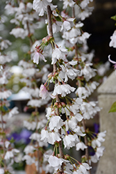 Snow Fountains Yoshino Cherry (Prunus 'Snow Fountains') at Jim Melka Landscaping & Garden Center