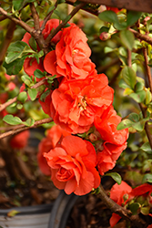 Double Take Orange™ Flowering Quince (Chaenomeles speciosa 'Double Take Orange Storm') at Jim Melka Landscaping & Garden Center