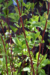 Bailey Red-Twig Dogwood (Cornus baileyi) at Jim Melka Landscaping & Garden Center