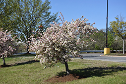 Candymint Flowering Crab (Malus sargentii 'Candymint') at Jim Melka Landscaping & Garden Center