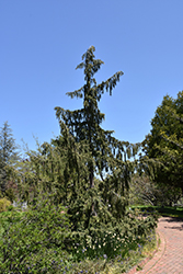 Weeping Nootka Cypress (Chamaecyparis nootkatensis 'Pendula') at Jim Melka Landscaping & Garden Center
