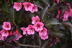 Wine and Roses® Weigela (Weigela florida 'Alexandra') at Jim Melka Landscaping & Garden Center