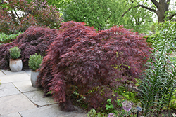 Crimson Queen Japanese Maple (Acer palmatum 'Crimson Queen') at Jim Melka Landscaping & Garden Center