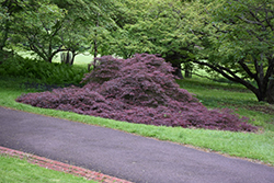 Garnet Cutleaf Japanese Maple (Acer palmatum 'Garnet') at Jim Melka Landscaping & Garden Center