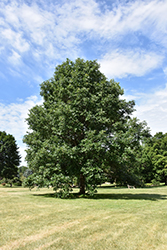 Swamp White Oak (Quercus bicolor) at Jim Melka Landscaping & Garden Center