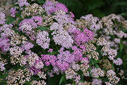 Flowering Choice Spirea (Spiraea x bumalda 'Flowering Choice') at Jim Melka Landscaping & Garden Center