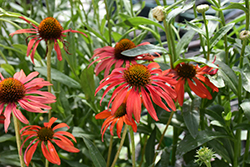Tomato Soup Coneflower (Echinacea 'Tomato Soup') at Jim Melka Landscaping & Garden Center