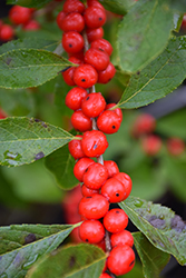 Red Sprite Winterberry (Ilex verticillata 'Red Sprite') at Jim Melka Landscaping & Garden Center