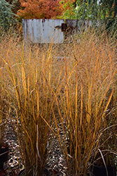 Northwind Switch Grass (Panicum virgatum 'Northwind') at Jim Melka Landscaping & Garden Center