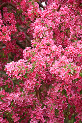 Prairifire Flowering Crab (Malus 'Prairifire') at Jim Melka Landscaping & Garden Center