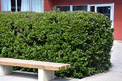 Hedge Cotoneaster (Cotoneaster lucidus) at Jim Melka Landscaping & Garden Center
