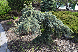 Weeping Blue Spruce (Picea pungens 'Pendula') at Jim Melka Landscaping & Garden Center