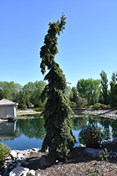 Weeping White Spruce (Picea glauca 'Pendula') at Jim Melka Landscaping & Garden Center