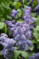 Wedgewood Blue Lilac (Syringa vulgaris 'Wedgewood Blue') at Jim Melka Landscaping & Garden Center