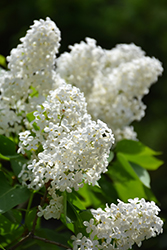 White French Lilac (Syringa vulgaris 'Alba') at Jim Melka Landscaping & Garden Center