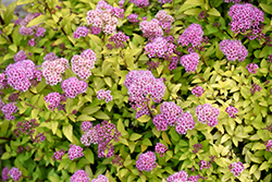Sundrop™ Spiraea (Spiraea 'Bailcarol') at Jim Melka Landscaping & Garden Center