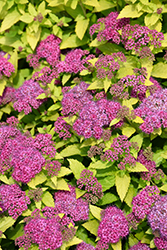 Double Play® Gold Spirea (Spiraea japonica 'Yan') at Jim Melka Landscaping & Garden Center