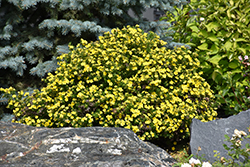 Gold Drop Potentilla (Potentilla fruticosa 'Gold Drop') at Jim Melka Landscaping & Garden Center