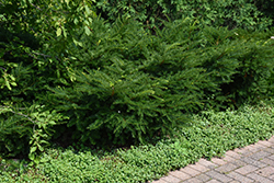 Green Wave Yew (Taxus x media 'Green Wave') at Jim Melka Landscaping & Garden Center