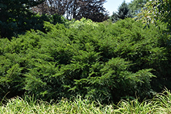 Runyan Yew (Taxus x media 'Runyan') at Jim Melka Landscaping & Garden Center