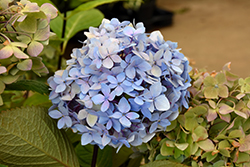 Blue Enchantress Hydrangea (Hydrangea macrophylla 'Monmar') at Jim Melka Landscaping & Garden Center