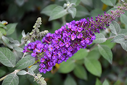 Miss Violet Butterfly Bush (Buddleia 'Miss Violet') at Jim Melka Landscaping & Garden Center