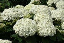 Invincibelle® Limetta Hydrangea (Hydrangea arborescens 'NCHA8') at Jim Melka Landscaping & Garden Center